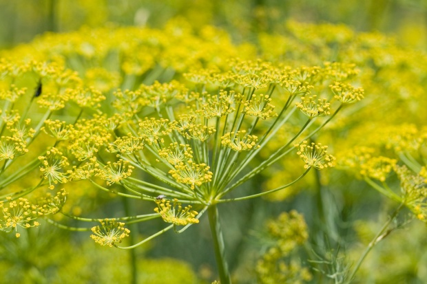 Fennel_flower_heads
