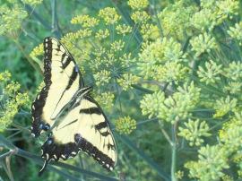 Fennelbronze-fennel-Butterfly