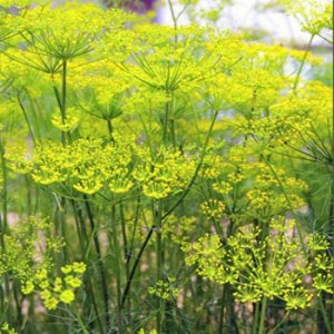 Herb Fennel (Sweet Fennel)