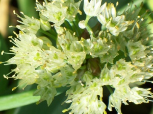 Onion-flowers with seeds