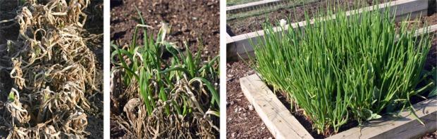 Dieback to Spring Regrowth