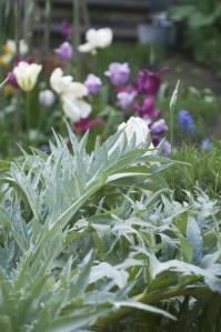 planting-globe-artichoke
