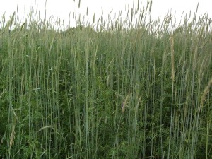cover crop-vetchrye