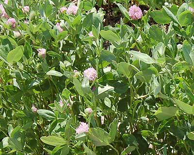 red-clover
