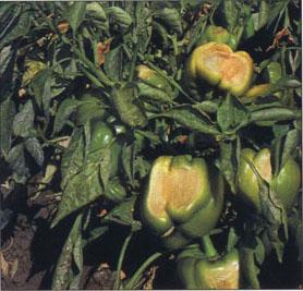 Several fungicides control powdery mildew in peppers
