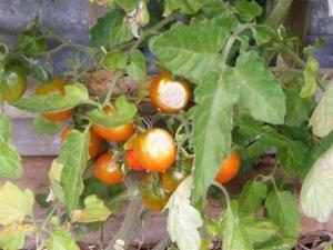 Sunburned tomatoes