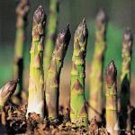 asparagus-af
