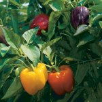 bell-peppers-01