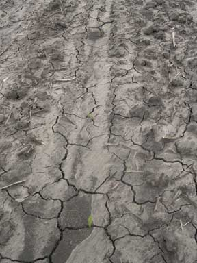 Soil crust on conventionally tilled field after heavy rain.