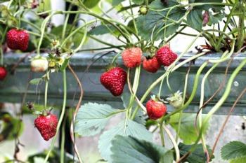 strawberries-in-gutters-02
