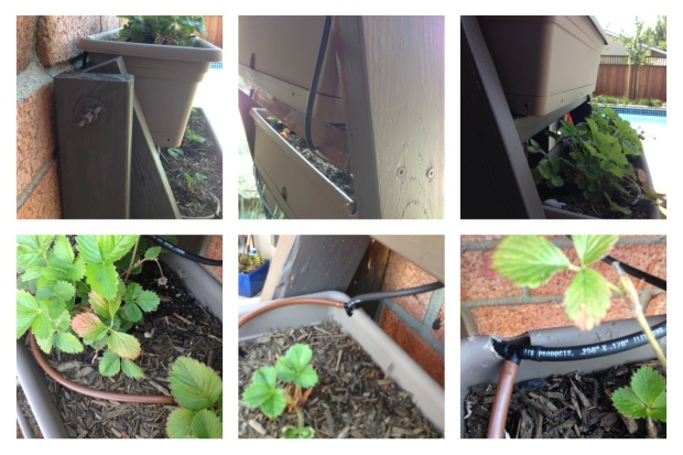 My Strawberry Patch in the Making