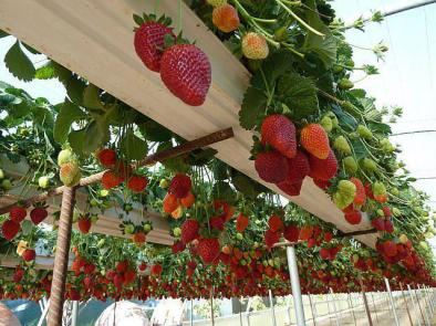 strawberry gutter-01
