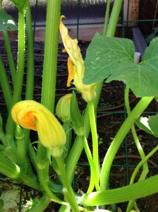 Closed squash blossoms