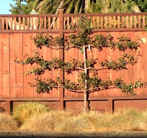 Pear Tree 2014