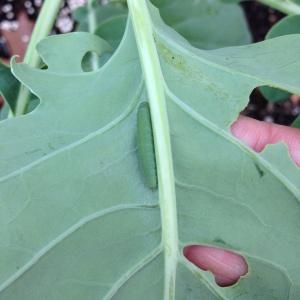 Cabbageworm on my broccoli