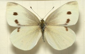 Female White Butterfly